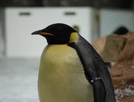 Small_penguin