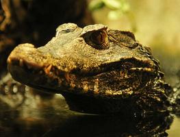 Small_krokodil