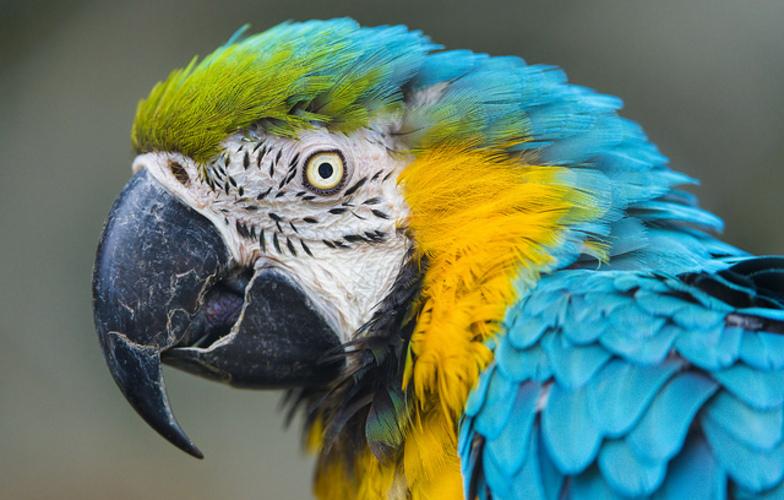 Extra_large_papagalo
