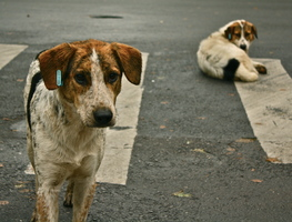 Small_stray_dogs_crosswalk