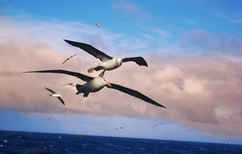 Extra_large_albatros-556567_1280