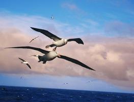 Small_albatros-556567_1280
