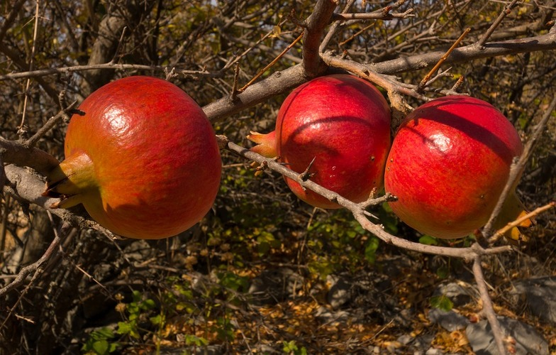 Extra_large_fruit-mature-red-pomegranate-juicy-3916198