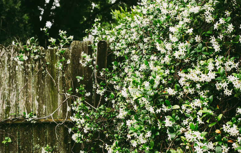 Extra_large_canva_-_white_petaled_flowers_on_wall