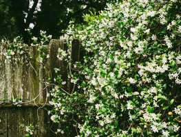 Small_canva_-_white_petaled_flowers_on_wall