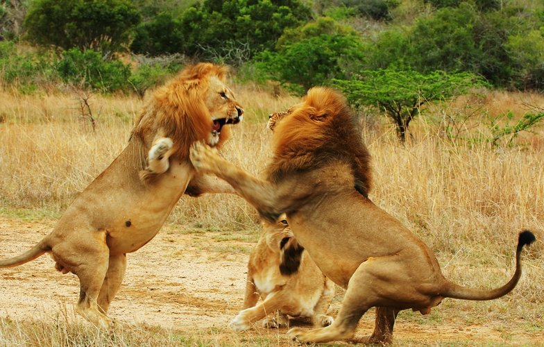 Extra_large_lions_fighting