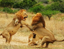 Small_lions_fighting