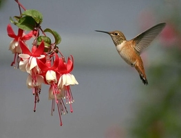 Small_kolibric
