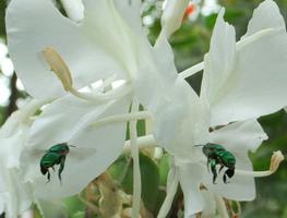 Small_orhideja