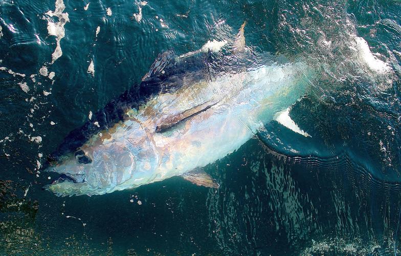 Extra_large_tuna