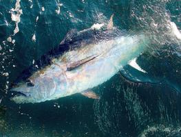 Small_tuna
