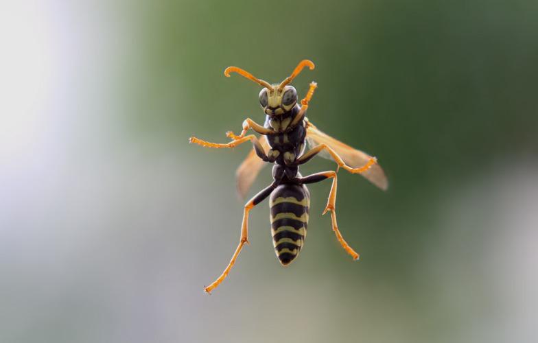 Extra_large_wasp