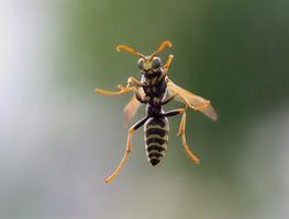 Small_wasp