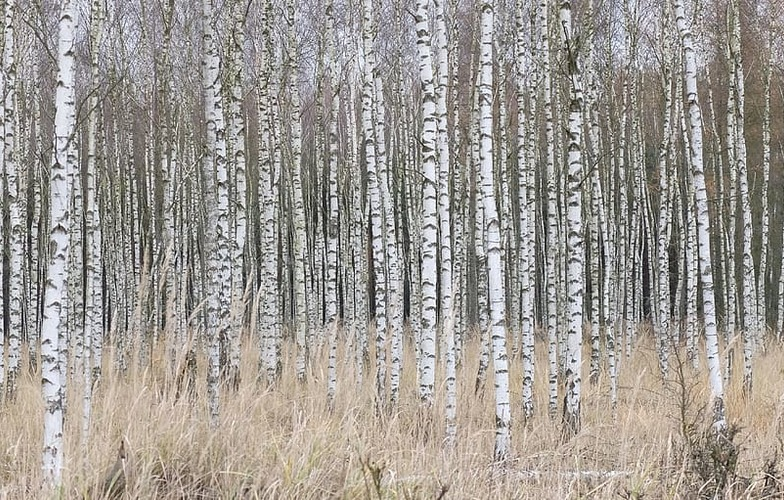 Extra_large_birch-forest-nature