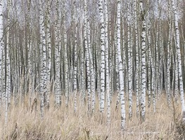 Small_birch-forest-nature