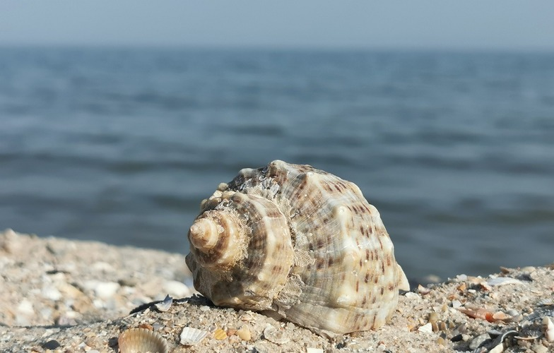 Extra_large_shell-5381561_1280