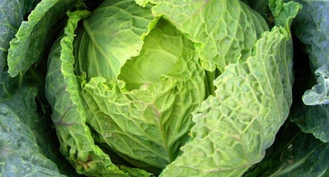 Wide_cabbage_604