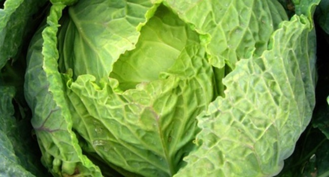 Wide_large_cabbage_604